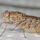 New Tool to Fight Deadly Tsetse Fly