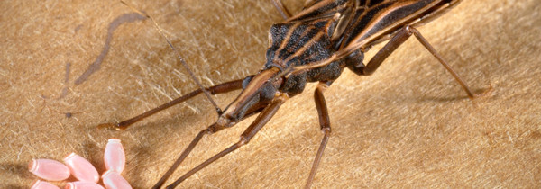 Neglected Parasitic Infections, Chagas Disease, in the United States
